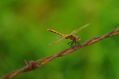 Metal Dragonfly Photograph - Dragonfly On Barbed Wire by Jeff Swan