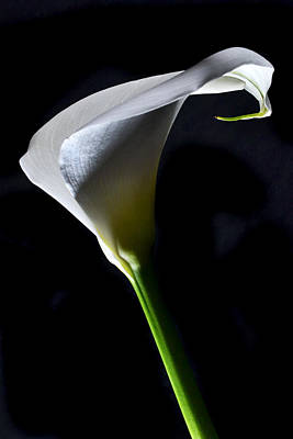 Dramatic Calla. Original by Terence Davis