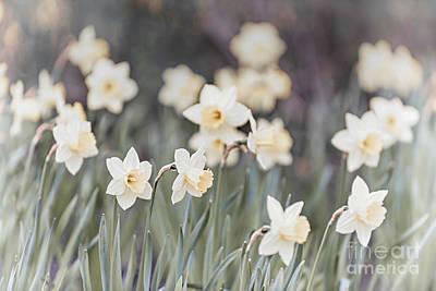 Daffodils Photograph - Dreamy Daffodils by Elena Elisseeva