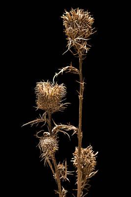 Dried Photograph - Dried Prairie Blazing Star by Steve Gadomski