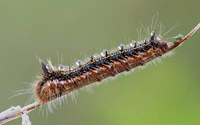 Drinker Moth Caterpillar Print by Heath Mcdonald