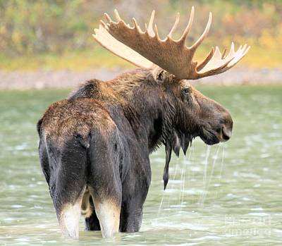 Moose In Water Photograph - Dripping After Dinner by Adam Jewell