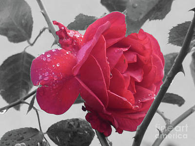 Roses Photograph - Drop-covered Rose by Deborah Smolinske