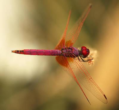 Dropwing Dragonfly Print by Paul Cowan
