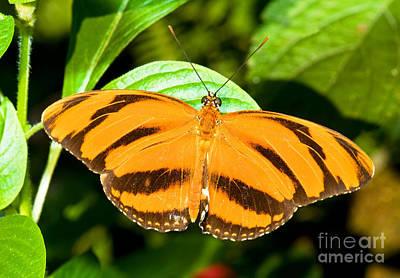 Dryadula Butterfly Print by Millard H. Sharp