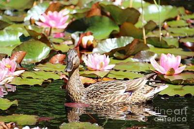 Duck Photograph - Duck In The Water Lilies by Amanda Mohler