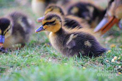 Ducklings 03 Original by J M Lister