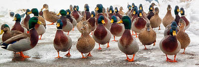 Mallards Photograph - Duckorama by Bob Orsillo