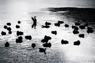 Drake Photograph - Ducks by Alexander Senin