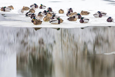 Michigan State Photograph - Ducks On The Red Cedar River  by John McGraw
