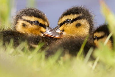 Ducktwins Print by Roeselien Raimond