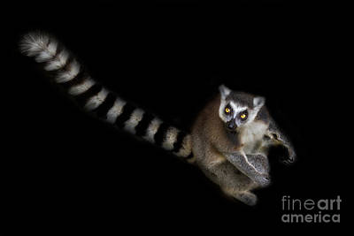 Ring-tail Lemur Photograph - Dude Who Stole My Car by Ashley Vincent