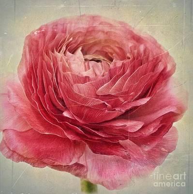 Buttercup Photograph - Dusty Pink by Priska Wettstein