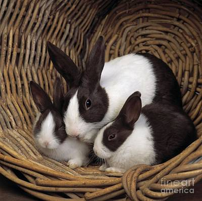 House Pet Photograph - Dutch Rabbit With Young by E A Janes