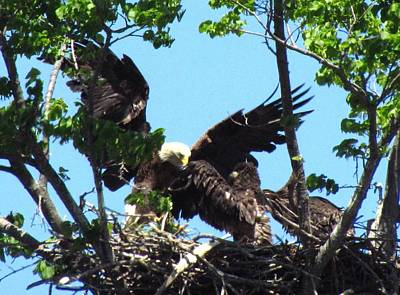 Eagle Bringing Fish To The Nest Print by Mitch Spillane