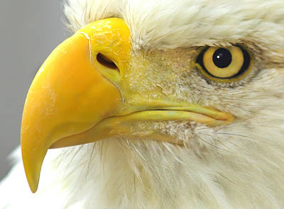 Nature Photograph - Eagle Eye by Shane Bechler