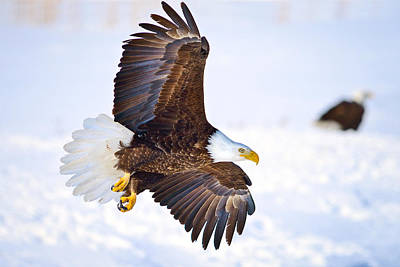 Eagle Landing Photograph By Greg Norrell