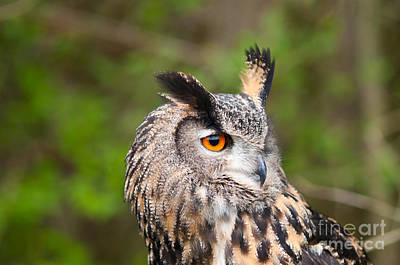 Owl Photograph - Eagle Owl With Orange Eyes by Les Palenik