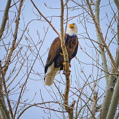 Nature Photograph - Eagle Perch by Greg Norrell