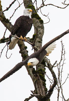Eagles Print by Angie Vogel