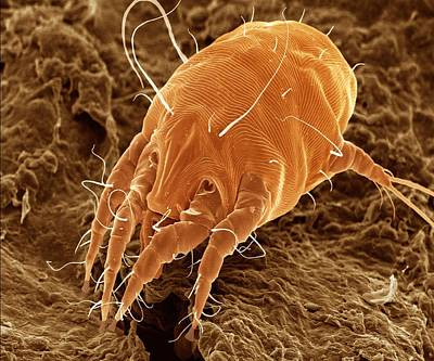 Ear Mite (otodectes Cynotis). Print by Power And Syred