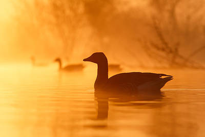 Geese Photograph - Early Morning Mood by Roeselien Raimond