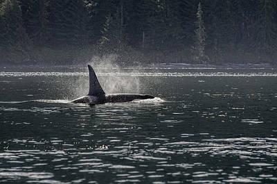 Orca Digital Art - Early Morning Orca by Darryl Luscombe