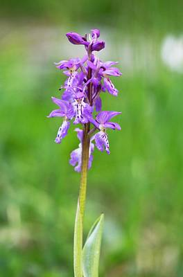 Purple Orchids Photograph - Early Purple Orchid (orchis Ichnusae) by Bob Gibbons