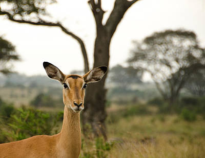 Nairobi Photograph - Ears by Aaron S Bedell