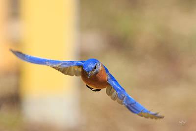 Eastern Bluebird Print by Everet Regal