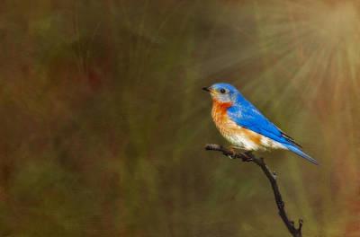 Bluebird Digital Art - Eastern Bluebird In The Prairies by Susan Candelario