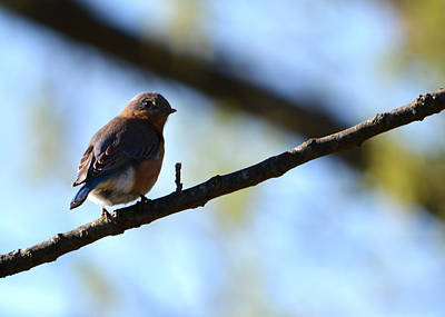 Walnut Tree Photograph - Eastern Bluebird In Walnut Early Spring by Rebecca Sherman
