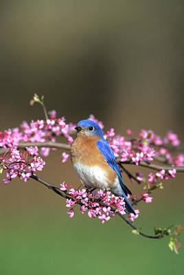 Redbud Photograph - Eastern Bluebird (sialia Sialis by Richard and Susan Day