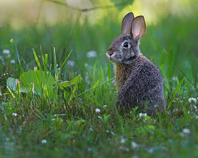 Eastern Cottontail Print by Bill Wakeley