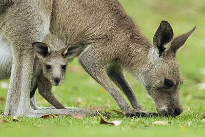 Eastern Grey Kangaroo Mother Grazing Print by Sebastian Kennerknecht