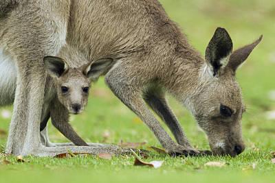 Jervis Photograph - Eastern Grey Kangaroo Mother Grazing by Sebastian Kennerknecht