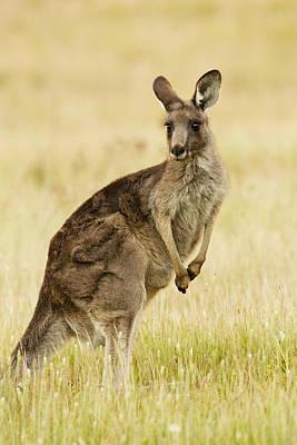 Eastern Grey Kangaroo Mount Taylor Print by Sebastian Kennerknecht