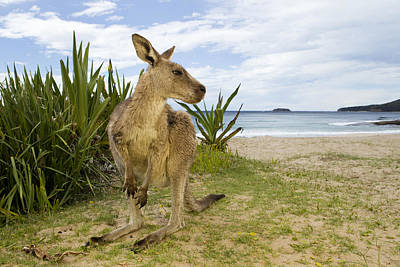 Eastern Grey Kangaroo Pebbly Beach Print by Sebastian Kennerknecht