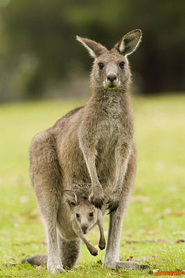 Eastern Grey Kangaroo With Joey Peering Print by Sebastian Kennerknecht