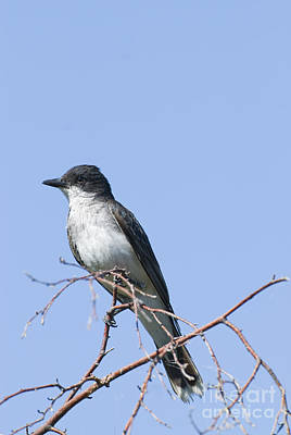 Flycatcher Photograph - Eastern Kingbird by William H. Mullins