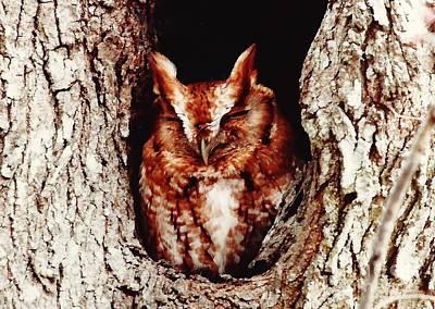 Bird Photograph - Eastern Screech Owl by D Hackett