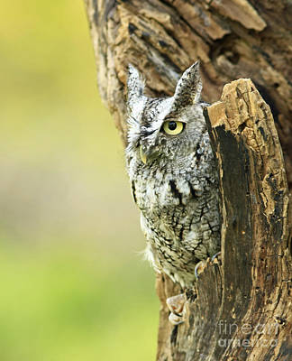 Eastern Screech Owl Hiding Out In A Hollow Tree Print by Inspired Nature Photography Fine Art Photography
