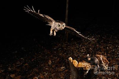Eastern Screech Owl Hunting Print by Scott Linstead