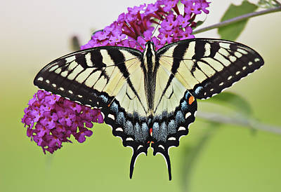 Florals Photograph - Eastern Swallowtail  by Marcia Colelli