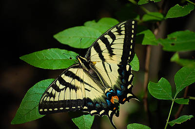 Eastern Tiger Swallowtail Print by Bianca Nadeau
