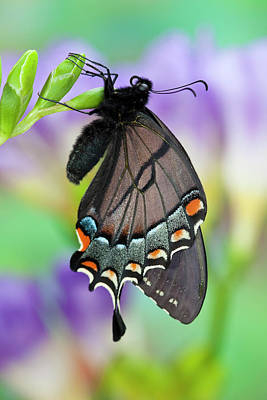 Blue Swallowtail Photograph - Eastern Tiger Swallowtail, Black Form by Darrell Gulin
