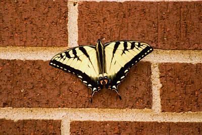 Eastern Tiger Swallowtail Butterfly 1 Print by Howard Tenke