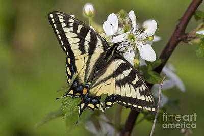 Eastern Tiger Swallowtail Print by Linda Freshwaters Arndt