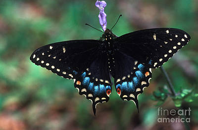 Swallow Photograph - Eastern Tiger Swallowtail by Millard H. Sharp