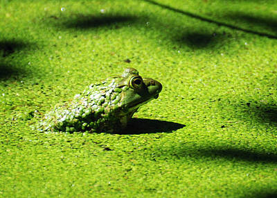 Bullfrogs Photograph - Easy Being Green by Rebecca Sherman